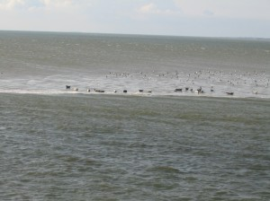 Sandbank mit Seehunden zwischen Norderney und Norddeich