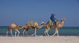 Kamele am Strand von Djerba © tokamuwi / Quelle: pixelio.de